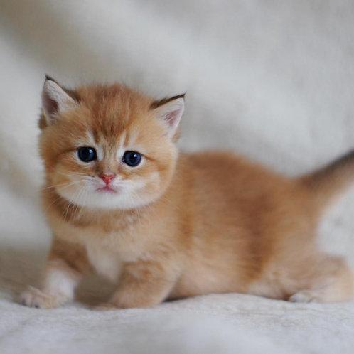 405 Jerry  British shorthair male kitten