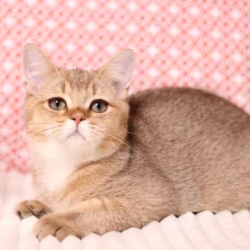 992 Bram  British shorthair male kitten