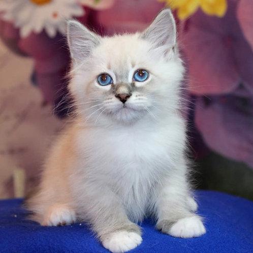 238 Uil      Siberian male kitten