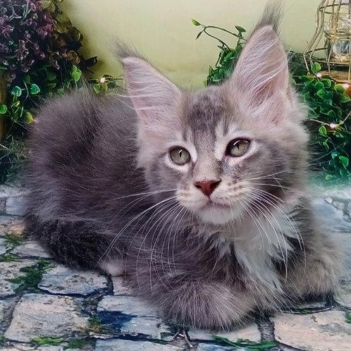 627 Marsel  Maine Coon male kitten