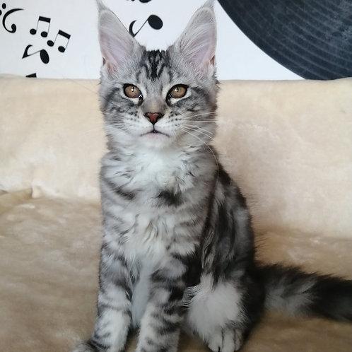 Assol Maine Coon female kitten