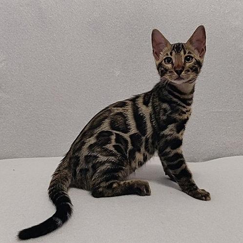 Vagner purebred Bengal male kitten
