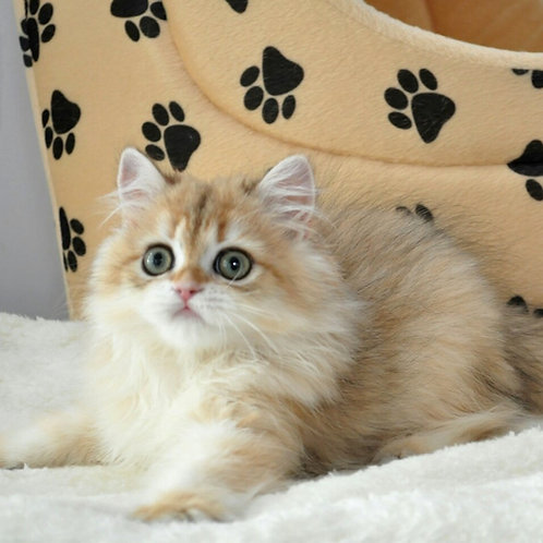 380 Wilfred  British longhair male kitten