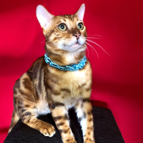 242 Gabriel  purebred Bengal male kitten