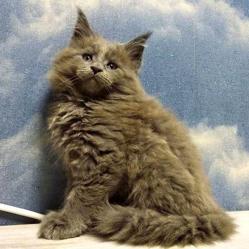892 Adam Maine Coon male kitten
