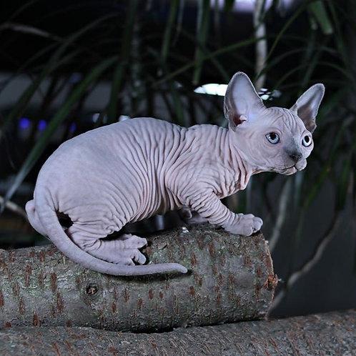 Lanvin male Sphinx kitten