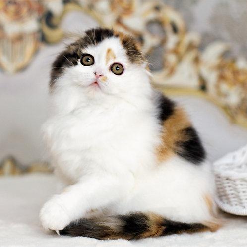 599 Alexa   Scottish fold longhair female kitten