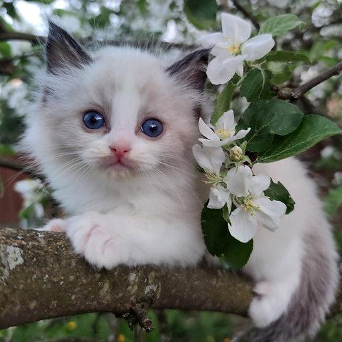 180   Ricardo  Ragdoll male kitten