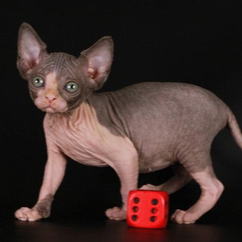 332 Spark Lee female Sphinx kitten