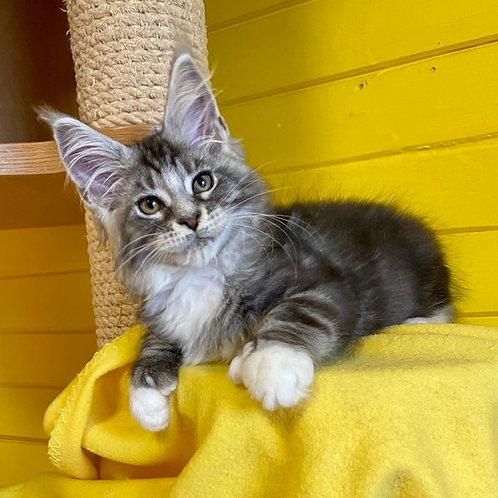 529 Satir poly (6/6/4/4) Maine Coon male kitten