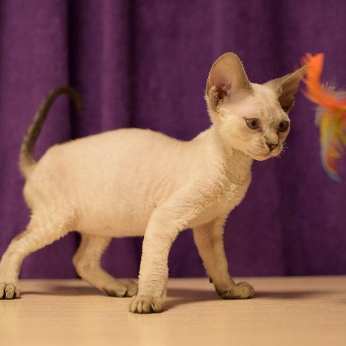 Elliot male kitten Devon Rex