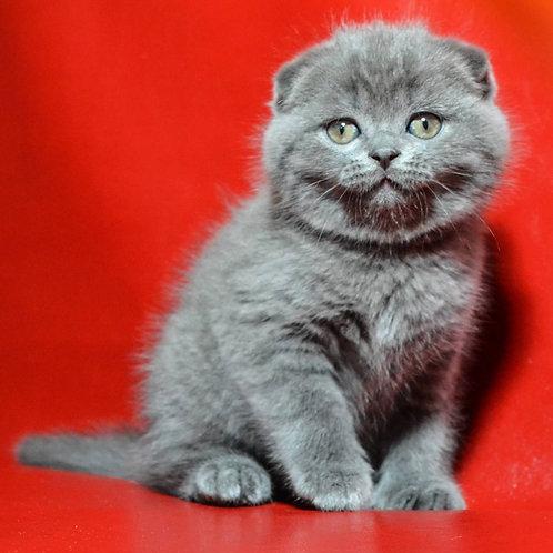 Garfield Scottish fold shorthair male kitten