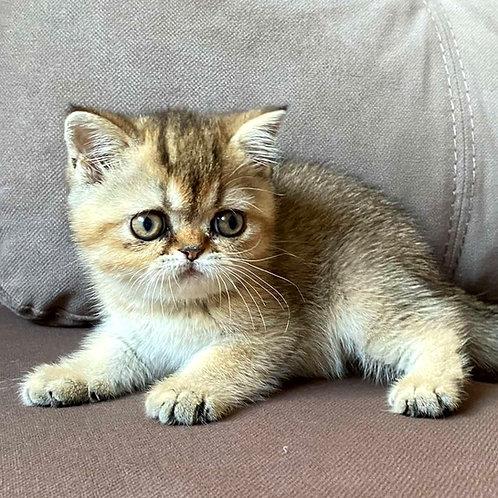 250 Puma Exotic  female kitten