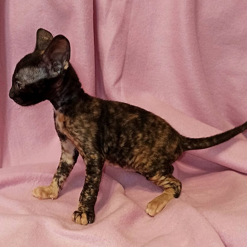 71 Nicole female kitten Cornish Rex