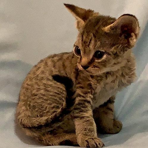 175 Sindy  female kitten Devon Rex