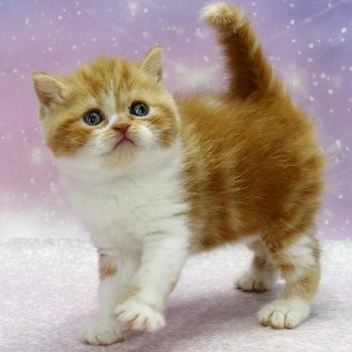 658 Bulka   Scottish straight shorthair female kitten