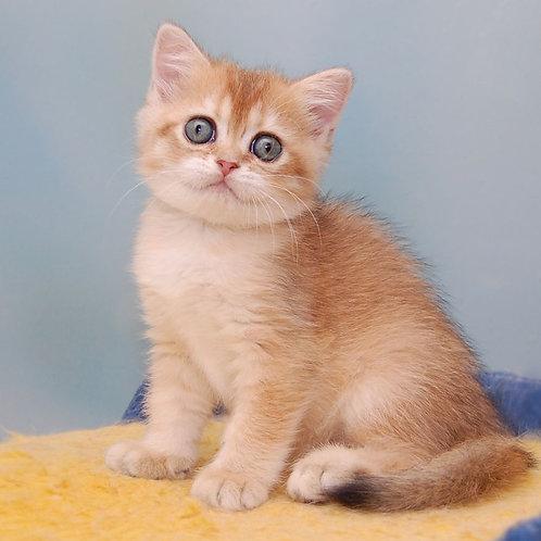 467 Zemlyanika  Scottish straight shorthair female kitten