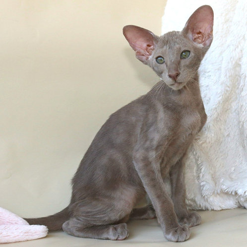499 Lexus   Oriental male kitten