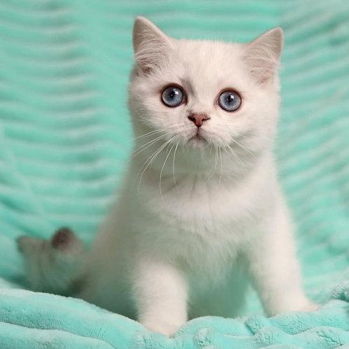 400 Pumpkin   British shorthair  female kitten