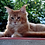Thumbnail: 717 Mr. Darcy  Maine Coon male kitten
