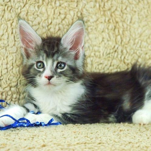 559 Jolli Maine Coon female kitten