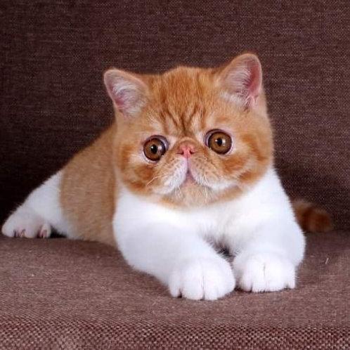 68 Romik  Exotic shorthair male kitten