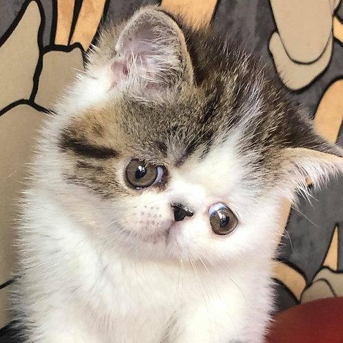 102 Baron  Exotic  male kitten