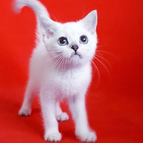 498 Bomba  British shorthair female kitten
