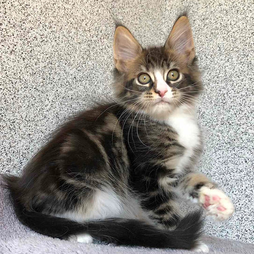 853 Pinkerton  Maine Coon male kitten