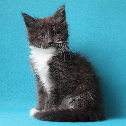 570 Ramses  Maine Coon male kitten