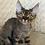 Thumbnail: 273 Harry  male kitten Devon Rex