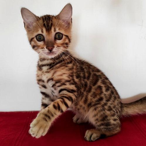 102 Versal  purebred Bengal male kitten