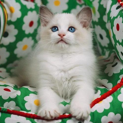 309 Gabby   Ragdoll female kitten