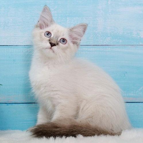 269 Marshall      Siberian male kitten