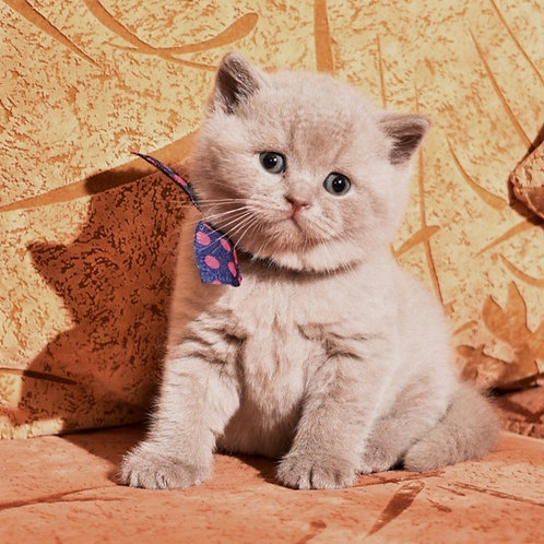 Umka British shorthair male kitten