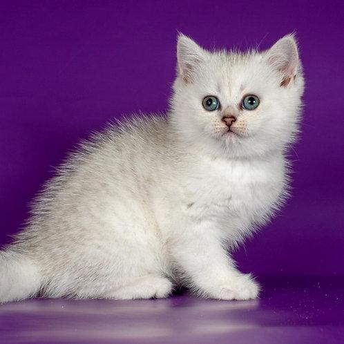 983 Freeda  Scottish straight shorthair female kitten