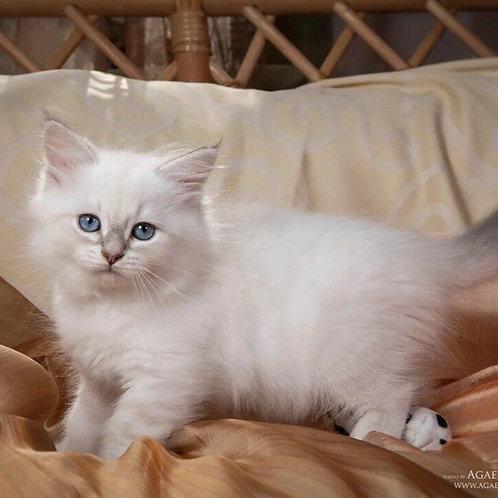 460 Altai Siberian male kitten