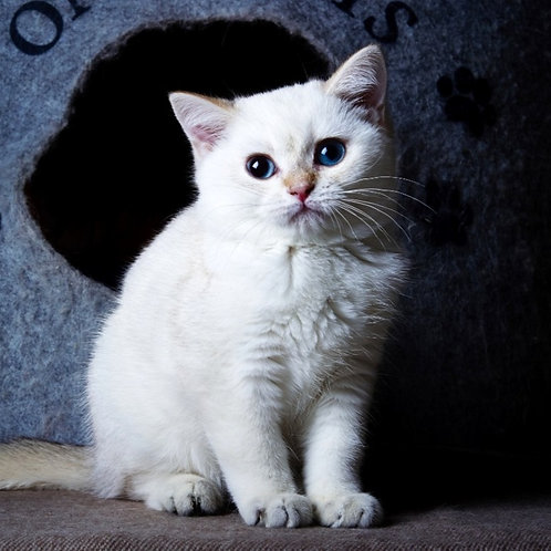 222 Casper   British shorthair male kitten