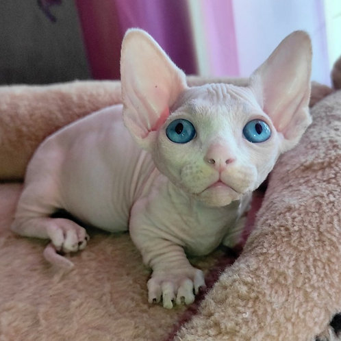 240 Assasin  male Bambino  kitten