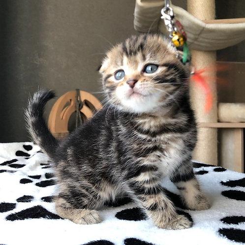 935 Sharm  Scottish fold shorthair male kitten