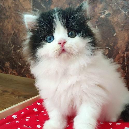 Oliver Scottish straight longhair male kitten