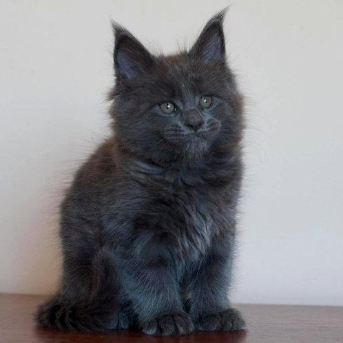 874 Jonson  Maine Coon male kitten