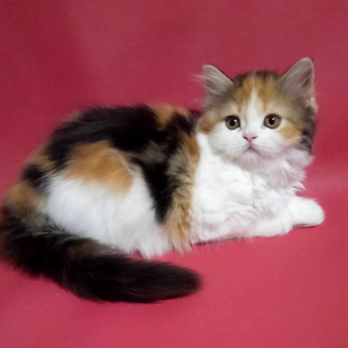 1151 Catrin  Scottish straight longhair female kitten