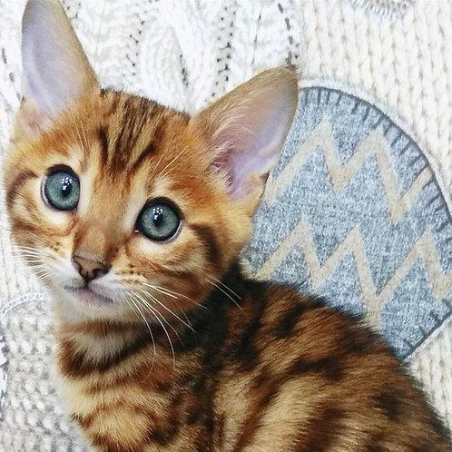 186 Malysh purebred Bengal male kitten