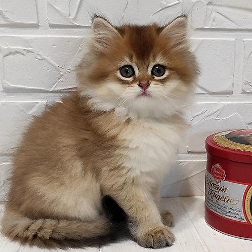 1092 Efim  British longhair male kitten