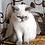 Thumbnail: 253 Lola Exotic  female kitten