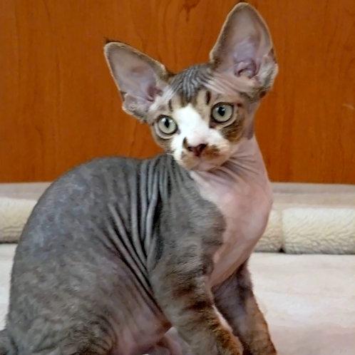 598 Jofrey  male kitten Devon Rex