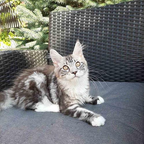 Missis X Maine Coon female kitten