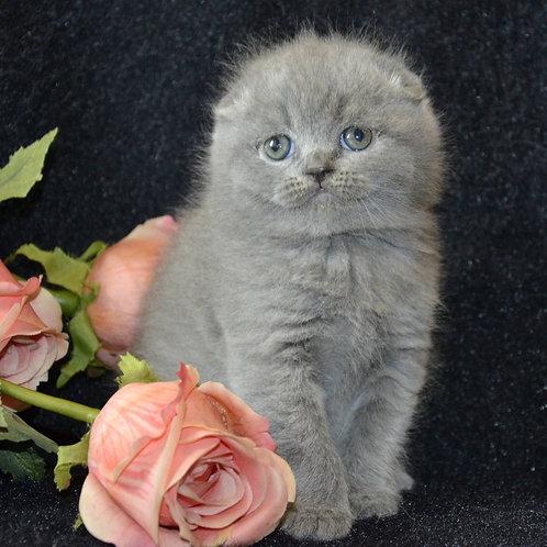 Tim Scottish fold shorthair male kitten