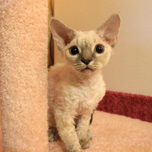 401 Chanel #1 female kitten Devon Rex